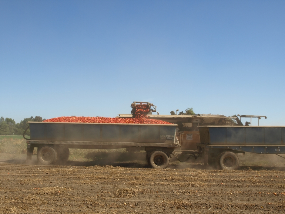 Harvesting tomatoes in Yolo County.